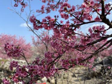 今帰仁城と桜